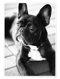 Premium poster  French Bulldog - Falko Follert