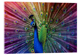 Acrylic print  Violet peacock - Hannes Cmarits