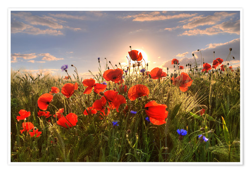 Premium poster Poppies in light