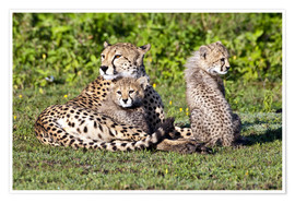 Premium poster  Cheetah mother and babies - Ralph H. Bendjebar
