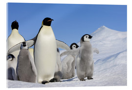 Acrylic print  Emperor penguins with chicks - Keren Su
