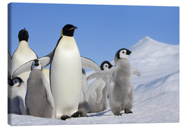 Canvas  Emperor Penguin (Aptenodytes forsteri) with chick - Keren Su