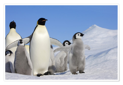 Premium poster Emperor penguins with chicks