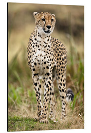 Aluminium print  Cheetah on the prowl - Joe & Mary Ann McDonald