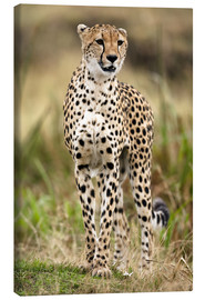 Canvas print  Cheetah on the prowl - Joe & Mary Ann McDonald