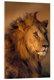 Acrylic print  Lion in the sunlight - Paul Souders