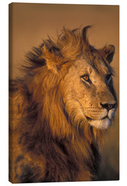 Canvas print  Lion in the sunlight - Paul Souders