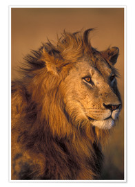Premium poster  Lion in the sunlight - Paul Souders