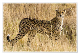 Premium poster  Cheetah in the dry grass - Ralph H. Bendjebar