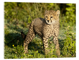 Acrylic print  Little cheetah in the green - Ralph H. Bendjebar