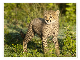 Poster  Little Cheetah on the Grass - Ralph H. Bendjebar