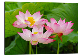Aluminium print  Three Indian lotus flowers - Adam Jones