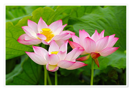 Premium poster  Three Indian lotus flowers - Adam Jones