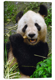 Canvas print  Panda is chewing on bamboo - Pete Oxford