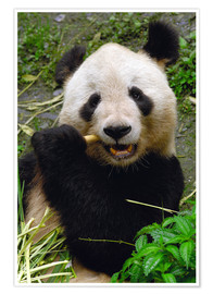 Premium poster  Panda is chewing on bamboo - Pete Oxford