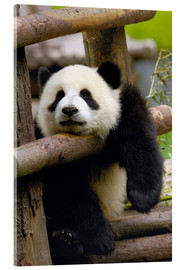 Acrylic print  Panda relaxes on a fence - Pete Oxford