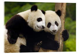 Acrylic print  Young pandas at tree trunk - Pete Oxford