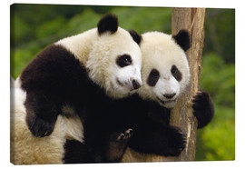 Canvas print  Young pandas at tree trunk - Pete Oxford