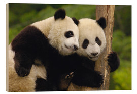Pete Oxford - Two young pandas on a tree trunk