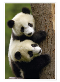 Premium poster  Giant Panda babies clinging to a tree trunk - Pete Oxford