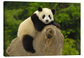 Canvas  A panda baby sits on a tree trunk - Pete Oxford