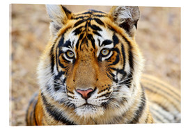 Acrylic print  Royal Bengal Tiger in Portrait - Jagdeep Rajput
