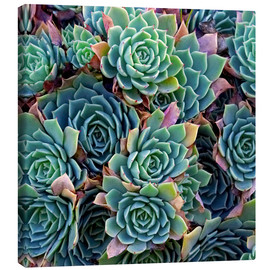 Canvas print  Colorful succulents - David Wall