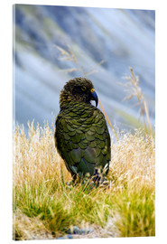 Acrylic glass  A Kea sitting in the grass - Fredrik Norrsell