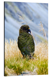 Aluminium print  Kea is sitting in the grass - Fredrik Norrsell