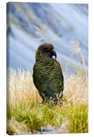 Canvas print  A Kea sitting in the grass - Fredrik Norrsell