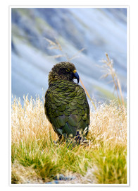 Premium poster  Kea is sitting in the grass - Fredrik Norrsell