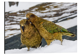 Aluminium print  Two young keas in the snow - Fredrik Norrsell