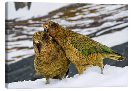Canvas  Two young keas in the snow - Fredrik Norrsell
