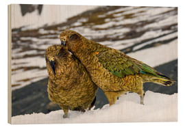 Wood print  Two young keas in the snow - Fredrik Norrsell