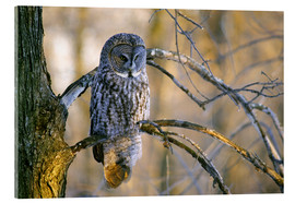 Acrylic print  Great gray owl on a branch - Gilles Delisle