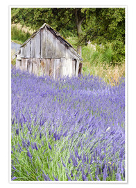 Premium poster  Lavender field and scales - Janell Davidson
