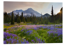 Acrylic glass  Lupine in flower meadow at sunrise - Gary Luhm