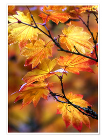 Premium poster  Maple leaves in autumn - Janell Davidson