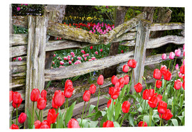 Acrylic print  Tulips in front of a wooden fence - Jamie & Judy Wild