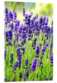 Acrylic print  Lavender on a meadow - Rob Tilley