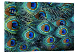 Acrylic print  Iridescent feathers of a peacock - Adam Jones