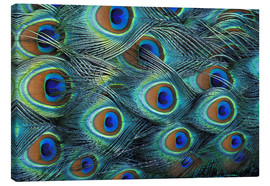 Canvas print  Feathers of a male peacock - Adam Jones