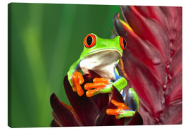 Canvas print  Red-eyed tree frog on a leaf - Adam Jones