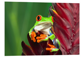 Foam board print  Red-eyed tree frog on leaf - Adam Jones