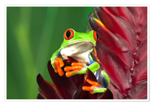 Premium poster Red-eyed tree frog on leaf