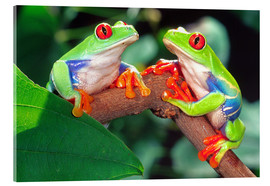 Acrylic print  Two red-eyed tree frogs - David Northcott