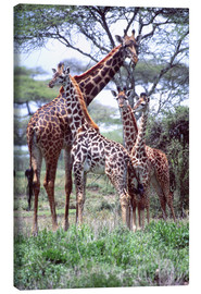 Canvas print  Giraffes family - David Northcott