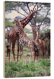 Wood print  Giraffes family - David Northcott