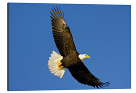 Aluminium print  Bald eagle in flight - David Northcott