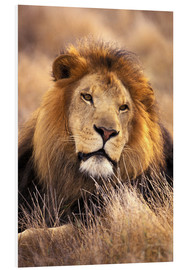 Foam board print  Male lion in the grass - Stuart Westmorland